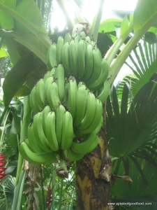 Plaintain tree
