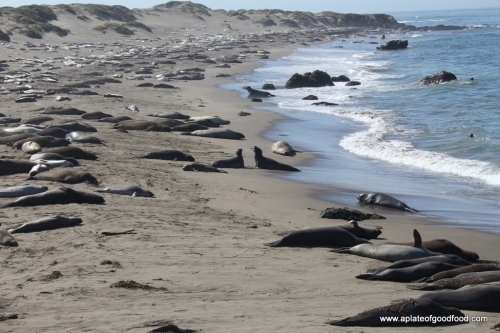 seal colony california